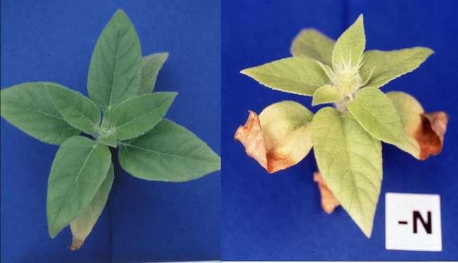 Последствия нехватки азота в почве для растений