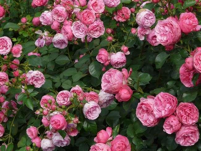 подкормка Роз и других цветов лошадиным навозом