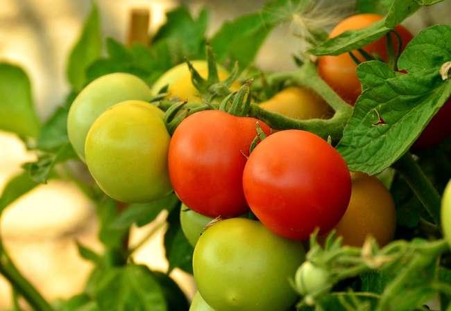 Азофоска для томатов
